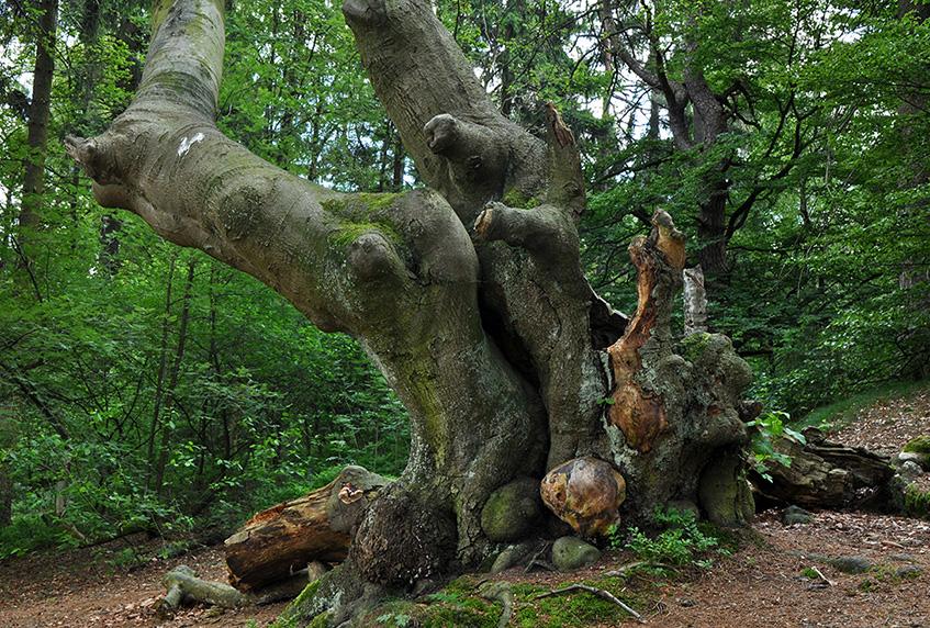 Alte Bäume und Wälder an den Externsteinen