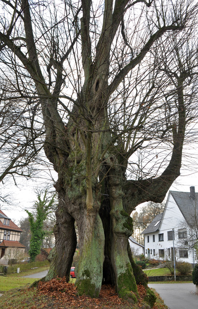Linde in Obersdorf Nieheim