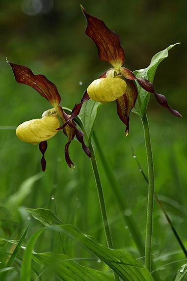 Frauenschuh Orchideen