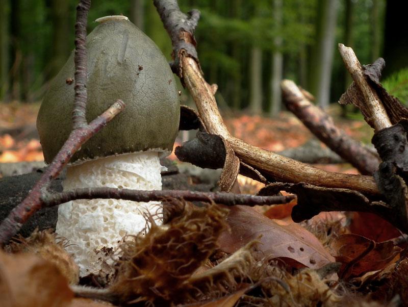 Gemeine Stinkmorchel